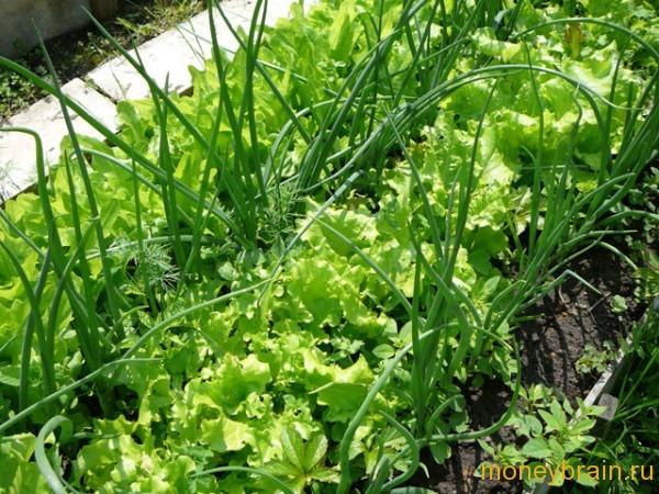 выращивание зелени на даче
