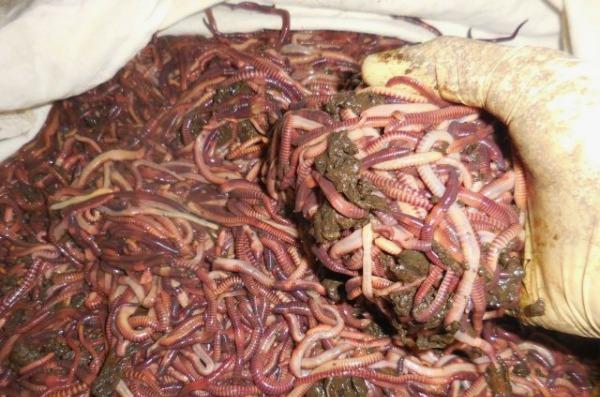 Условие разведения дождевого червя в домашних условиях