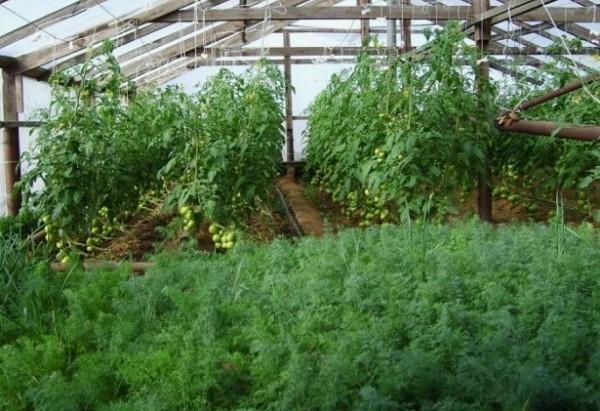 Выращивание укропа на продажу