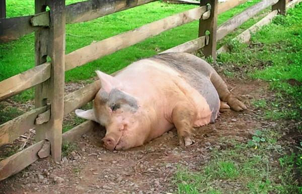 Презентация на тему: Основы свиноводства 64