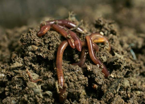 выращивании дождевых и калифорнийских червей