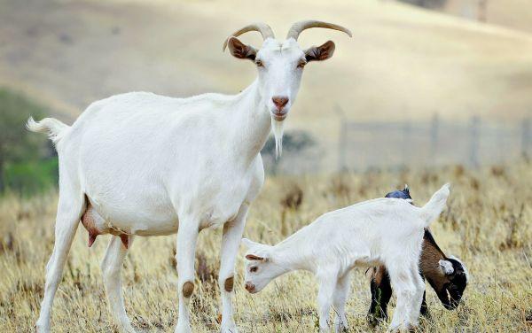 Разведение коз в домашних условиях как бизнес